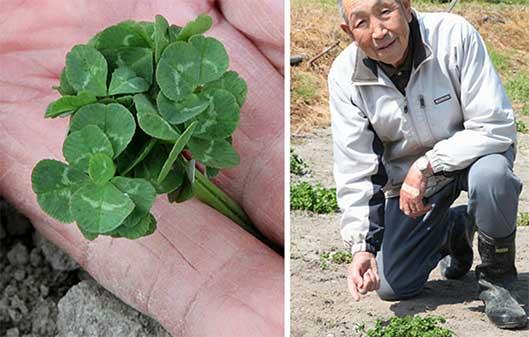 man picking clovers